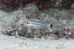BD-130710-Maldives-0097-Cheilodipterus-macrodon-(Lacepède.-1802)-[Largetoothed-cardinalfish].jpg